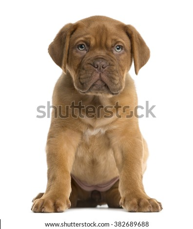 Dogue de Bordeaux puppy sitting in front of a white background - stock photo