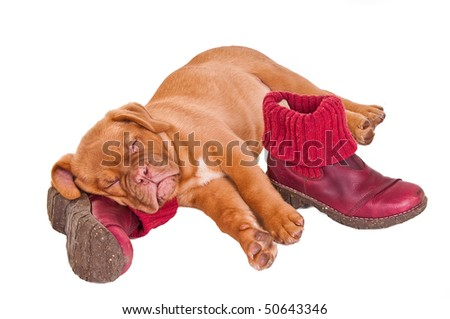 Dogue De Bordeaux puppy sleeping on boots, isolated - stock photo