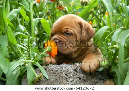 Dogue de Bordeaux puppy smells a flower