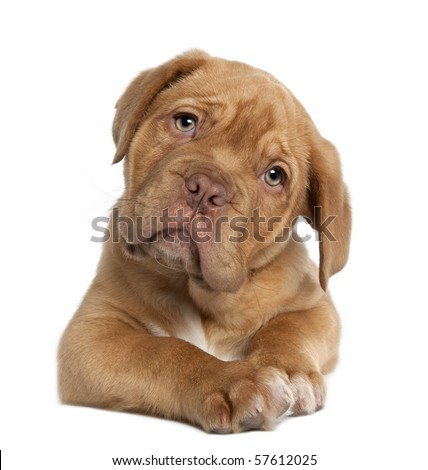 Dogue de Bordeaux puppy, 10 weeks old, lying in front of white background - stock photo