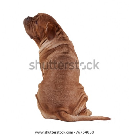 Dogue De Bordeaux rear view with face turned aside, isolated - stock photo