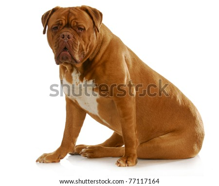 dogue de bordeaux sitting looking at viewer on white background