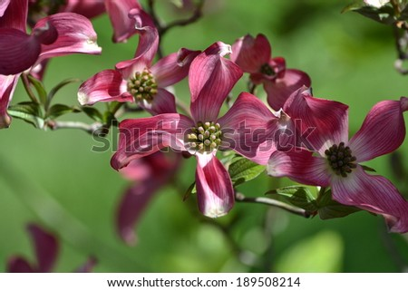 Dogwood Blooms - stock photo