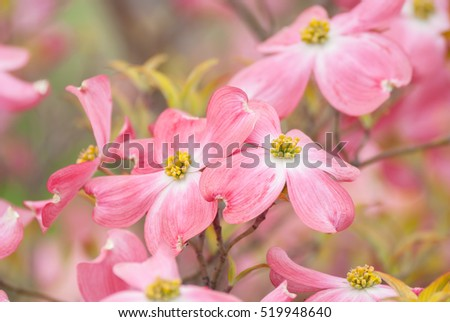 Dogwood blossoms of spring. Shallow depth of field and soft focus.