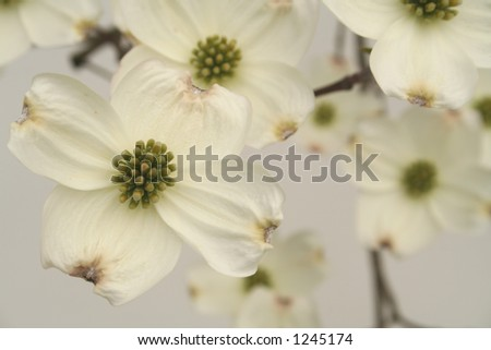 Dogwood on white - stock photo