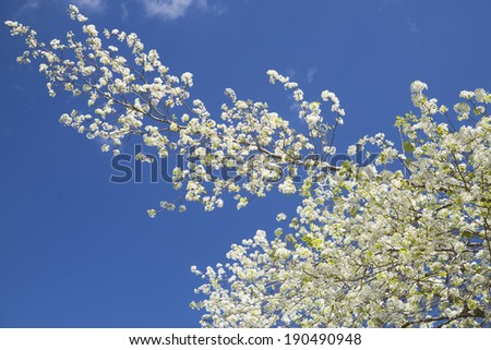 Dogwood Tree and limbs against a clear blue sky. - stock photo
