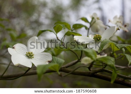 Dogwood tree flowers blossoming during spring in North Carolina. - stock photo