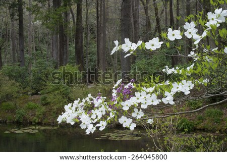 Dogwood tree in bloom hangs over a small pond. - stock photo