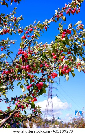 Dolgo Crabapple tree in sunny day. High voltage tower, electricity transmission pylon in background. Finland - stock photo