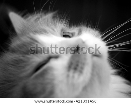 Doll Face Traditional Persian Cat with One Eye Open in Black White Facial Portrait - stock photo