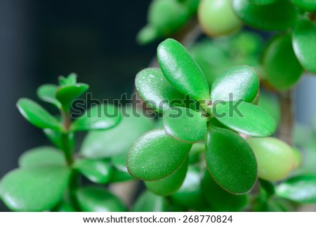Dollar plant or money tree Crassula macro - stock photo