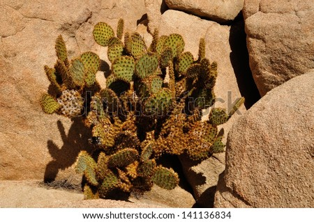 Dollarjoint pricklypear cactus surrounded by rocks in Joshua Tree National Park. - stock photo