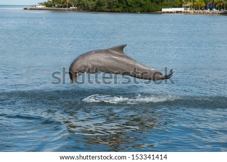 Dolphin completing a flip