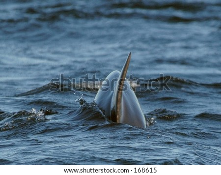 Dolphin Fin from Behind - stock photo