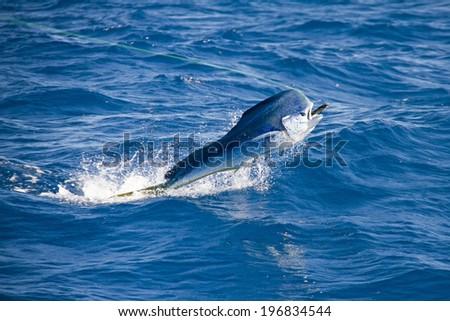 Dolphin Fish, Mahi Mahi, Dorado with lure - stock photo
