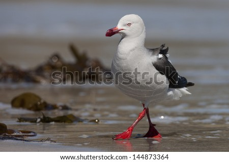 Dolphin Gull (Leucophaeus scoresbii), adult in breeding plumage foraging in the surf on Saunders Island in the Falklands. - stock photo