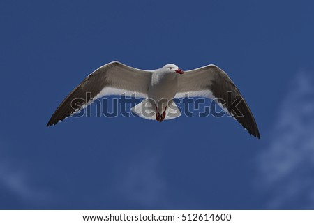 Dolphin Gull (Leucophaeus scoresbii) in flight on the coast of Carcass Island in the Falkland Islands.