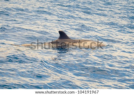 dolphin in the ocean