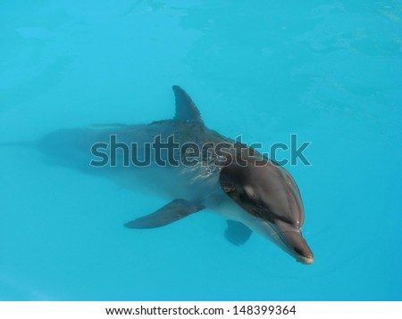 Dolphin in turquoise water, Lovina Beach, Bali, Indonesia