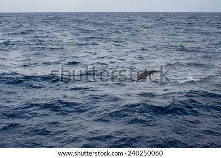 Dolphin jumping from water - stock photo
