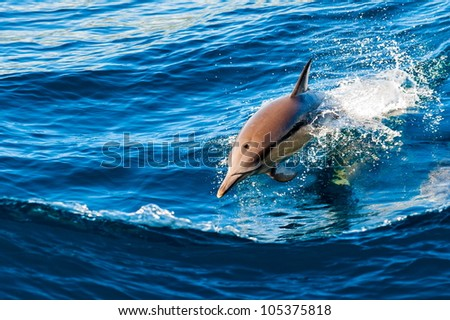 Dolphin jumping out of the water - stock photo