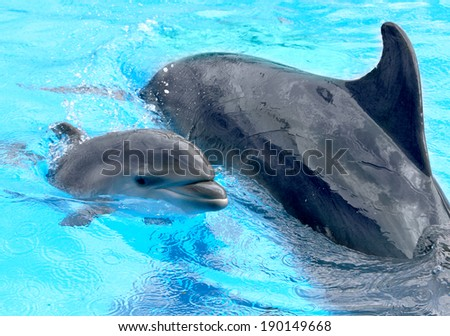 Dolphin mother with her little dolphin swims in the pool. Child is having fun in the water and have fun playing  - stock photo