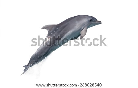 Dolphin of an afalin in a jump, it is isolated on a white background - stock photo