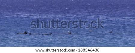 Dolphin Pod, Maui - stock photo
