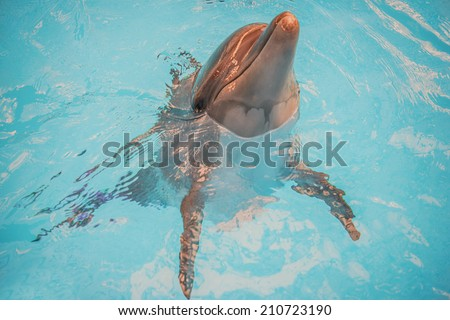 Dolphin pokes head out of water in basin of oceanarium. - stock photo