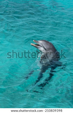 Dolphin showing off in the Caribbean water - stock photo