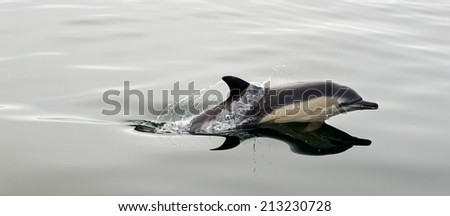 Dolphin, swimming in the ocean - stock photo