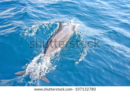 Dolphin swimming in the sea at the Caribbeans - stock photo