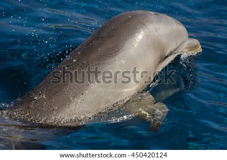dolphin swimming on the surface in the sea - stock photo