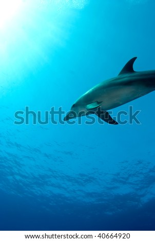 Dolphin under the surface