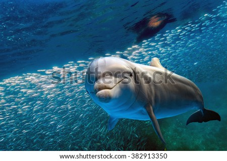dolphin underwater on ocean background looking at you with school of fish and sea lion background - stock photo