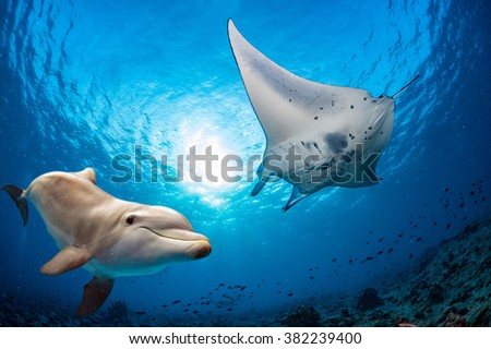 dolphin underwater on reef background looking at you with manta eagle ray - stock photo