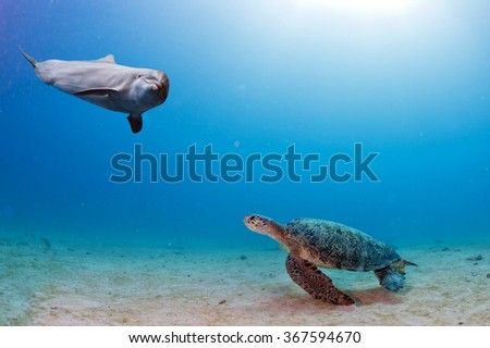 dolphin underwater on sand background looking at you while meeting a turtle - stock photo