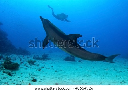 Dolphin with diver in background
