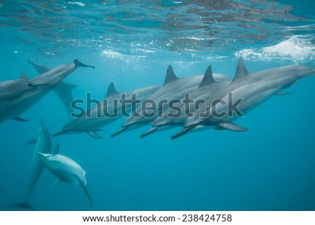 Dolphins all in a line after surfacing for a breath - stock photo