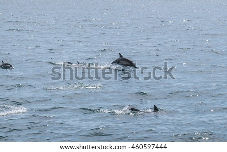 Dolphins are playing in ocean