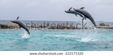 Dolphins around Curacao a Caribbean island in the Dutch Antilles - stock photo