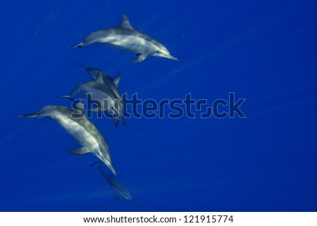 Dolphins Close to you while swimming in the deep blue sea scuba diving