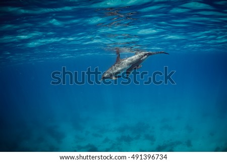 Dolphins family (a pair) swimming in water of the blue tropical sea with nobody on background