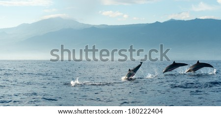 Dolphins in Pacific Ocean at sunrise. Bali, Indonesia - stock photo