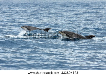 Dolphins in the ocean near Vila Franca do Campo in Sao Miguel, Azores Islands