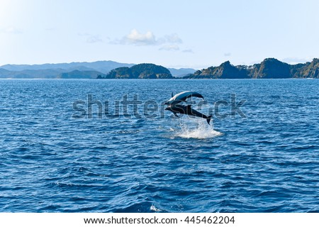 Dolphins jumping high in the ocean, New Zealand - stock photo