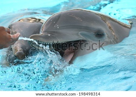 Dolphins play with man in aquarium - stock photo