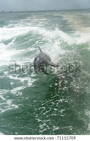 Dolphins playing in wake of boat off Saint Petersburg Florida - stock photo