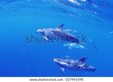 Dolphins swimming in sea - stock photo