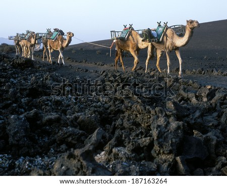domedaries, Timanfaya National Park, Lanzarote, Canary Islands, Spain - stock photo